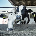 Magyarország tejivásban mindenképp erősödik
