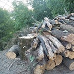 A Nébih vágatja a fákat a II. kerületben, engedéllyel