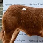 Megvan a világ legdrágább tehene, Victoria Beckhamről nevezték el