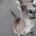 Kenguru ugrált végig az ausztráliai Adelaide néptelen belvárosán – videó