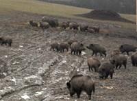 Afrikai sertéspestissel fertőzött vaddisznótetemet találtak Békésben