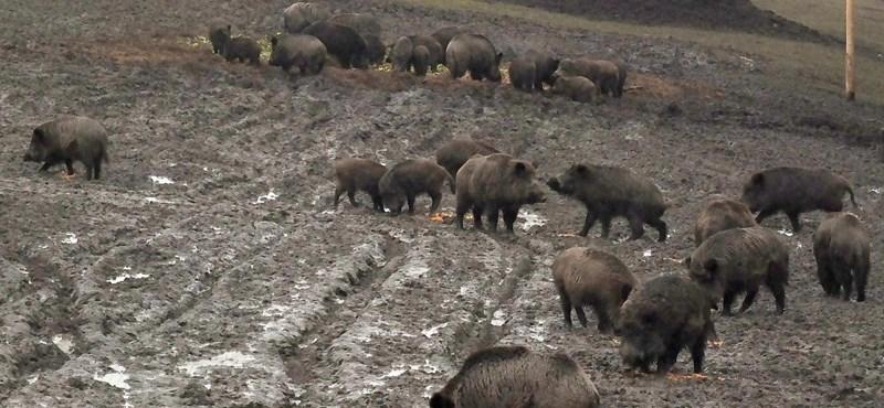 Bővült a sertéspestis miatti fertőzött terület Pest megyében