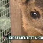 A kompos őzikéje: fuldokló gidát mentettek ki a Sajóból – videó