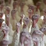 Újra megjelent a madárinfluenza, 90 ezer pulykát ölnek le Komárom-Esztergom megyében