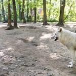 Fogadjon örökbe egy farkast!