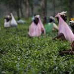 A zöld tea jó az LDL-koleszterin ellen
