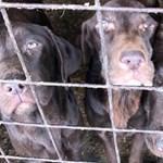 29 kutyát mentettek ki a gyulai rémálomból