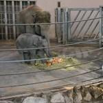 Mikulás járt az állatkerti kiselefántnál is - fotó