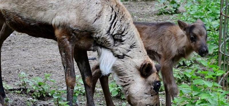 Először született rénszarvas a Miskolci Állatkertben