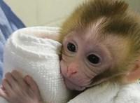 Ismerje meg Gradyt, a kis majmot, aki új reményt hozott a rákkal kezelt fiúknak