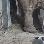 Kiselefánt született a fővárosi állatkertben, videó is készült róla