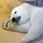Napi cuki: megmutatták a kis jegesmedvét Németországban