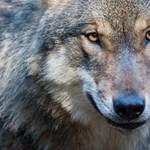 Ez a büszke vadász egy teljes farkascsaládot irtott ki egyszerre