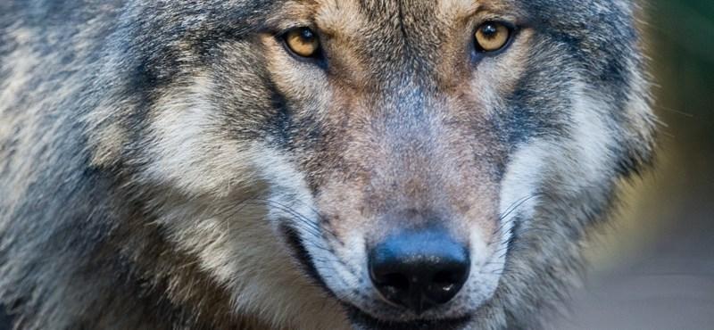 Elszökött bajor farkasok: Kettőt kilőttek, egyet vonat gázolt el
