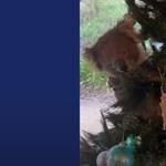Nem várt szőrös dísz bukkant fel egy ausztrál család karácsonyfáján