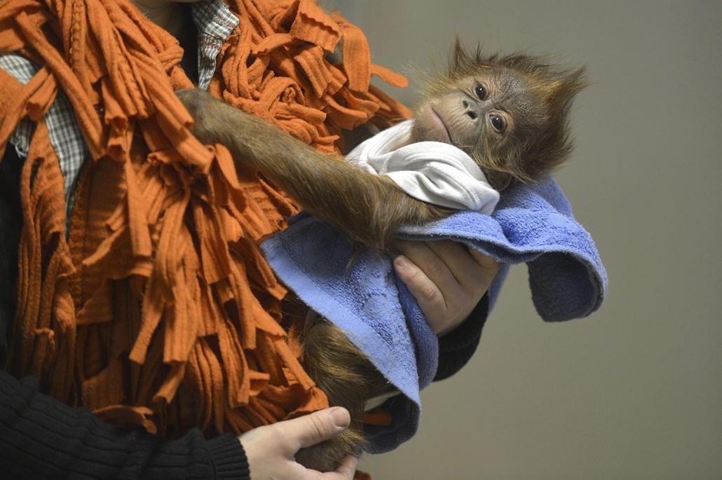 mti.14.12.08. - Angliába viszik az elárvult orangután kölyköt - Bulu Mata, a Fővárosi Állat- és Növénykert elárvult orangután kölyke az angliai indulás előtt