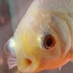 Meghalt a világ legöregebb aranyhala