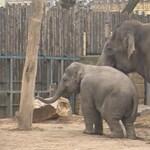 Elefántszeretet: Itt a pesti állatkert eddigi legmeghatóbb videója