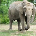 Megtalálták az elefántormány eddig ismeretlen rendeltetését