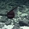 A tenger mélyén sikerült lefilmezni a világ egyik legfurcsább halát – videó
