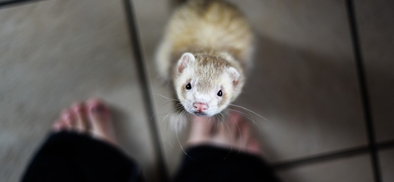 A pet ferret in the UK survived a 100-minute wash