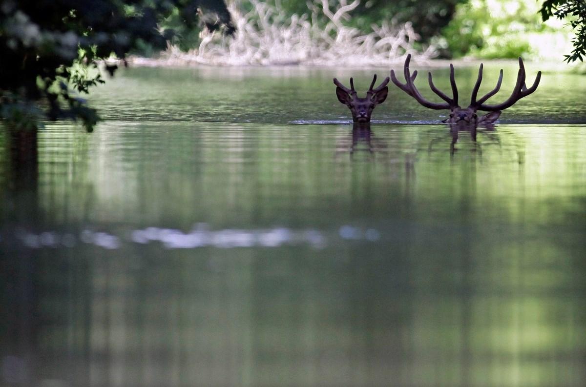 Az életükért úsznak a gemenci erdő vadjai - Nagyítás-fotógaléria