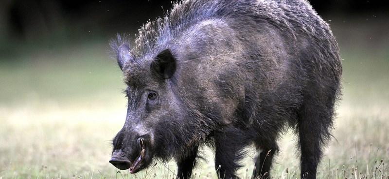 Pécs belterületén kezdtek vaddisznókra vadászni
