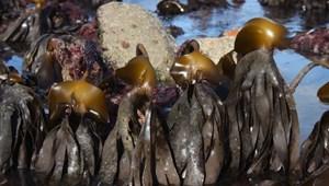 A legutóbbi jégkorszak óta fennmaradt tengeri hínárokat találtak Skócia partjainál
