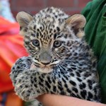 Napi cuki: perzsa leopárdkölyök született a Fővárosi Állatkerben