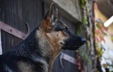 Csontsovány kutyákat mentettek ki Pécsen egy neves tenyésztőtől