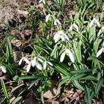 Videó: Egész mezőnyi területen nyílik a hóvirág az Alcsúti Arborétumban