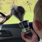 Torkuk szakadtából nevetnek a gyerekek a kajáért kuncsorgó struccokon – videó