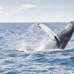 Kis híján halálra zúzott két embert egy hosszúszárnyú bálna