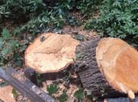 Még az önkormányzat sem tudott róla, hogy fákat vágnak ki a verőcei óvoda udvarán