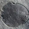 Azonosították a világ legősibb állatát – 558 millió évvel ezelőtt élt