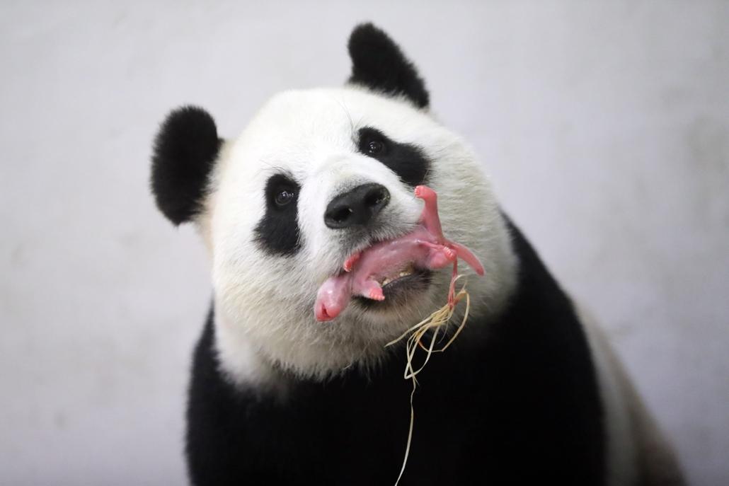 afp.16.06.02. - Belgium: Pairi Daiza állatkert,Hao Hao óriáspanda kölyke