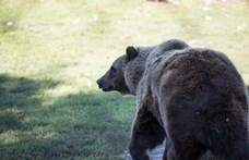 Elhagyta a várost a miskolci medve