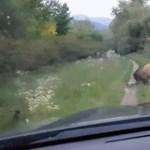 Így teszi tönkre a pecázást egy levakarhatatlan vaddisznó – videó