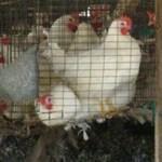Ha tovább drágul a tojás, megéri majd otthon nevelgetni néhány tyúkot?
