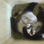 Különneműek a bécsi pandaikrek