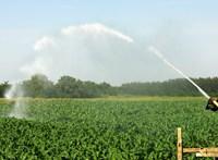 Drágulhat a magyar kukorica