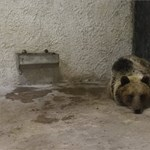 """""""Mi van, medve?!"""" – hajnalban Miskolcon megint medvét láttak"""