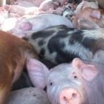 Egyre nagyobb területen terjed Magyarországon az afrikai sertéspestis