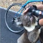 Kerékpárostól kunyerált inni a kiszáradt koala – videó