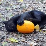 A nap képe: jaguárkölyök a Szegedi Vadasparkban Halloween-tökkel játszik