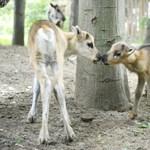 Fotók: hihetetlen cukik a Nyíregyházán született rénszarvasborjak