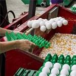 Fertőzött tojást, sajtot és gyümölcsöt is találtak az uniós ellenőrök