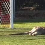 Ami az európai stadionokban a macska, Ausztráliában a kenguru