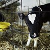 """""""Fordít a telefon"""" – indiai vendégmunkások mentik meg a magyar tehenészeteket"""
