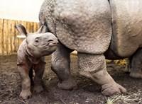 Hahó Fészbukosok, megvan Orbán Viktor rinocéroszának a neve!